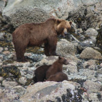 Brown bear with cubs on the shoreline