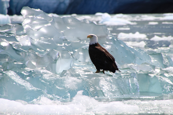 Viewing eagles in southeast Alaska