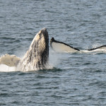Whales breach the Alaskan waters