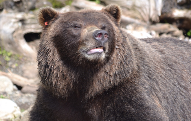 Lucky, a brown bear who found his forever home in 2010