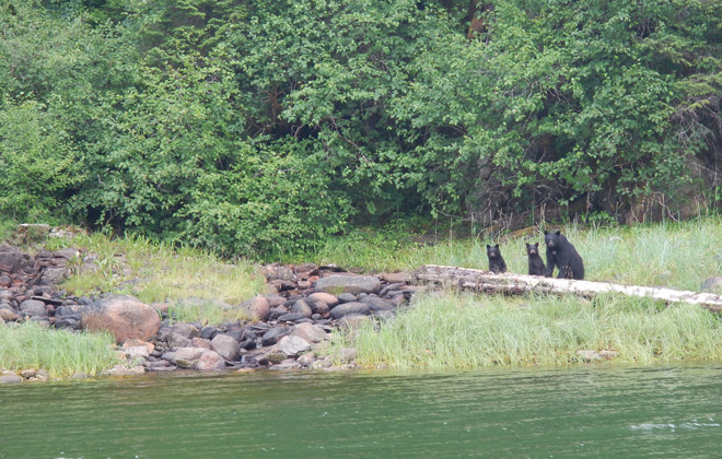 Bears in the Tongass National Forest, southeast Alaska