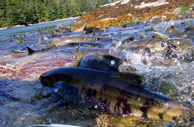 Salmon in the Tongass National Forest